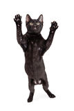 Funny Cat Standing to Pounce. Funny photo of black kitten standing up on hind legs with paws up ready to pounce Stock Image