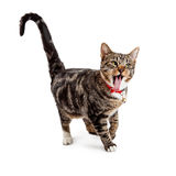 Funny Cat Sticking Tongue Out Stock Photo