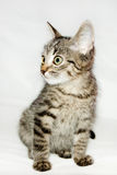 funny cat striped looking to the side,  Stock Images