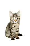 Funny cat striped  Stock Image