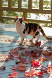 Funny cat on the terrace sitting on red maple leaves on gray wooden background. Selective focus. Blur effect stock photos