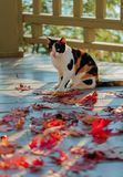 Funny cat on the terrace sitting on red maple leaves on gray wooden background. Selective focus. Blur effect royalty free stock image