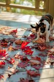 Funny cat on the terrace sitting on red maple leaves on gray wooden background. Selective focus. Blur effect stock photo