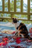 Funny cat on the terrace sitting on red maple leaves on gray wooden background. Selective focus. Blur effect stock photography