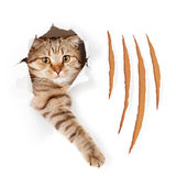 Funny cat in torn wallpaper hole with claw cuts Royalty Free Stock Images