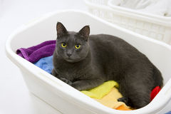 Funny cat wash - cat in basket with laundry Royalty Free Stock Images