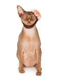 Funny Cat Wearing Flower Headband Royalty Free Stock Photo