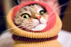 Funny cat wearing leg warmers. Funny cat wearing colored leg warmers royalty free stock photos