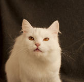 Funny cat Royalty Free Stock Photography