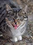 Funny cat yawning mouth full, cat hisses. Funny cat yawning mouth full Royalty Free Stock Photo