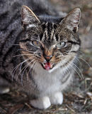 Funny cat yawning mouth full, cat hisses Royalty Free Stock Photography