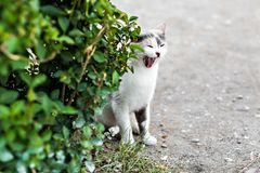 Funny cat yawning mouth full Royalty Free Stock Images