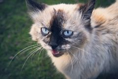 Funny cat yawns. Evil cat meows. Kitten on a green background in nature outdoors. stock image