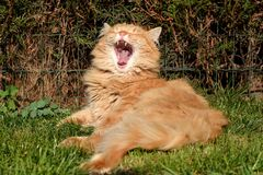 Funny cat yawns Royalty Free Stock Image