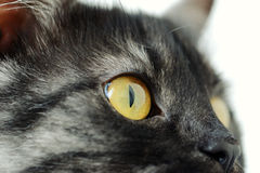 Funny cat with yellow eyes Royalty Free Stock Photos