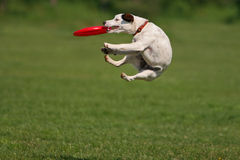 Funny catching. Jack russel terier during a funny frisbee catch Royalty Free Stock Photos