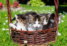 Funny cats in wicker basket. In garden on sunny day royalty free stock image