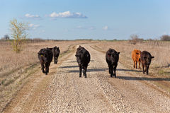Funny Cattle Stroll. Cattle taking a leisurely stroll on a gravel road Stock Photography