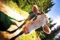 Funny cattle on sunny meadow Stock Photos