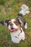Funny Cavalier King Charles Dog Portrait Stock Photography