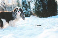 Funny cavalier king charles spaniel dog covered with snow playing on the walk in winter garden Royalty Free Stock Photo