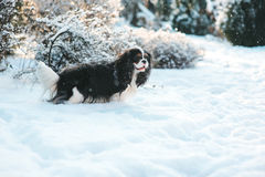 Funny cavalier king charles spaniel dog covered with snow playing on the walk in winter garden Royalty Free Stock Image