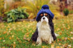 Funny cavalier king charles spaniel dog sitting in knitted hat. On the walk in autumn garden royalty free stock photography