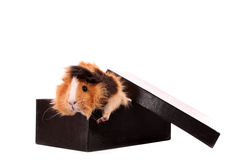 Funny   cavy in   box Royalty Free Stock Photo