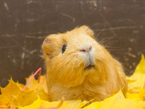 Funny cavy in leaves Royalty Free Stock Image