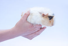 Funny cavy on white Royalty Free Stock Image