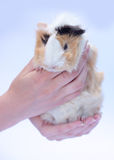 Funny cavy on white in hands Royalty Free Stock Photos