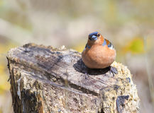 Funny Chaffinch sitting on a stump in spring forest Royalty Free Stock Image