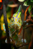 Funny chameleon on a branch. Royalty Free Stock Image