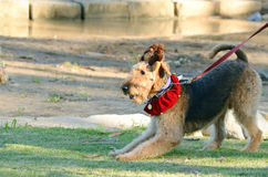 Funny cheeky Airedale Terrier dog ready to play. A very cheeky and playful large purebred Airedale Terrier male dog in the pounce position, well known for Stock Photos