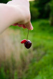 Funny cherry. The unusual structure of the cherry berries Royalty Free Stock Photography
