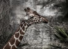 Funny chewing Giraffe. On stone background in sunny day Stock Photo