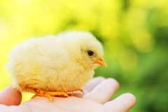 Funny chick on hand Stock Photography