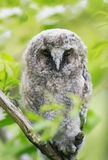 Funny chick owl Napping in a green tree and spying Royalty Free Stock Photos
