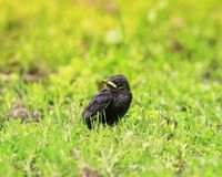 Funny chick Starling with a yellow beak sitting in the grass and. Waiting for parents Stock Image