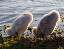 Funny chicks of the mute swans are synchronously cleaning their feathers Stock Photo