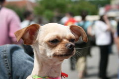 Funny chihuahua Royalty Free Stock Photography