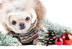 Funny chihuahua in cap and coat Royalty Free Stock Photo