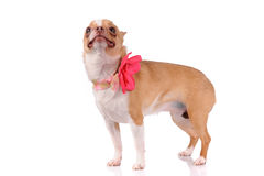 Funny chihuahua dog Royalty Free Stock Image