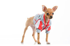 Funny Chihuahua dog in jacket Stock Images