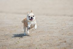 Funny chihuahua dog running on the beach Stock Photography