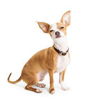 Funny Chihuahua Dog Squinting Eyes Stock Photo