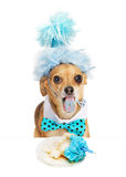 Funny Chihuahua Eating Birthday Cupcake royalty free stock image