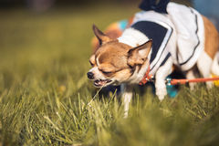 Funny Chihuahua enjoy chewing the summer grass. Sunny day. Copyspace.  Stock Image