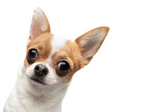 Funny Chihuahua peeping out the frame. Against white background Royalty Free Stock Photography
