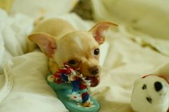 Funny chihuahua playing with toy. Cute small chihuahua puppy playing at home Royalty Free Stock Photography